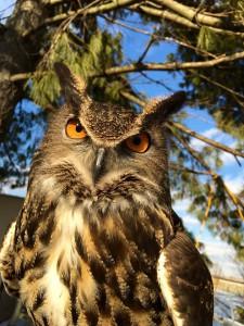 hoolgan-eagel-owl