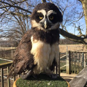 Silly Safaris Spectacled Owl