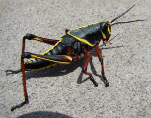 Silly Safari Lubber Grasshopper