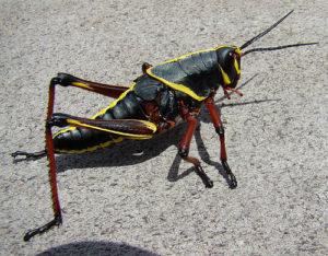 Silly Safari Lubber Grasshopper