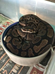 Silly Safari Ball Python