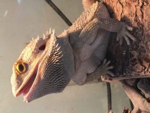 Silly Safaris Bearded Dragon