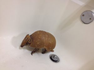 Silly Safari 3 Banded Armadillo
