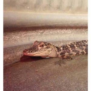 Silly Safari American Alligator