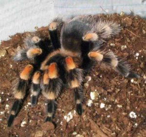 Silly Safari Red Knee Tarantula