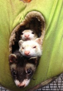 Silly Safari Ferrets