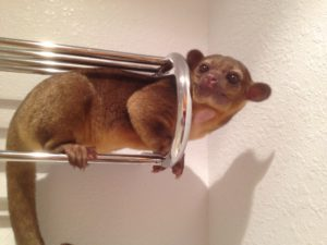 Silly Safari Kinkajou