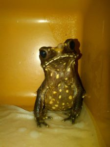 Silly Safari Smooth Sided Toad