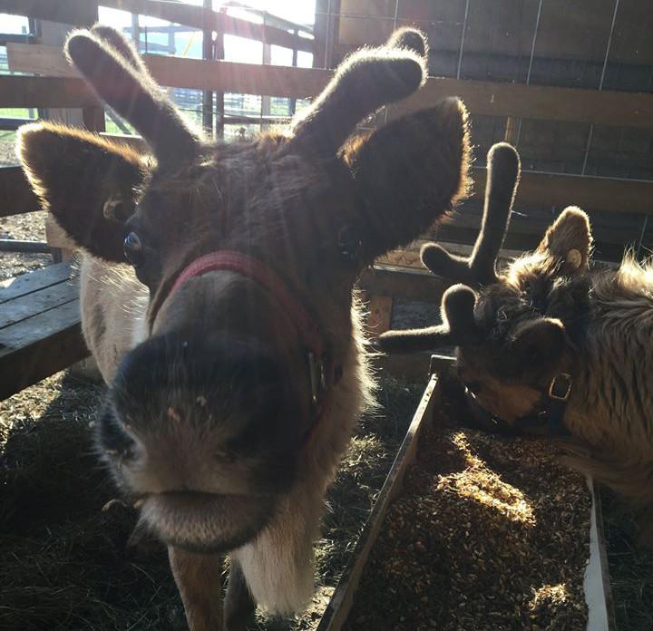 reindeer-eating