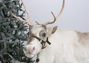 Silly Safaris LIVE Reindeer Shows